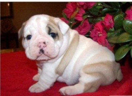 صور 2 Beautiful English Bulldog Puppies 1