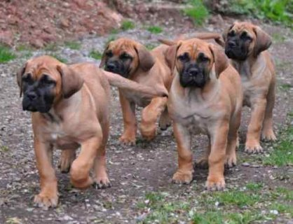 Boerboel pupppies for adoption