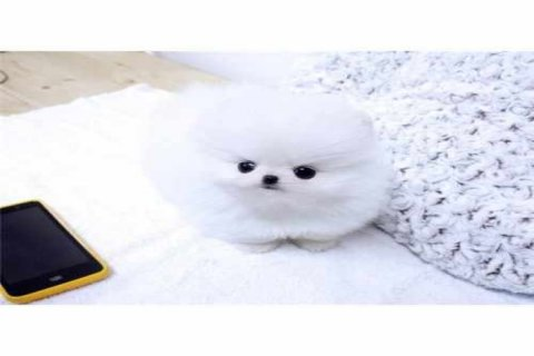 Amazing snow white Tcup Pomeranian for sale
