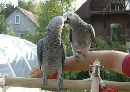 Beautiful Male and Female Congo African Grey Parrots1