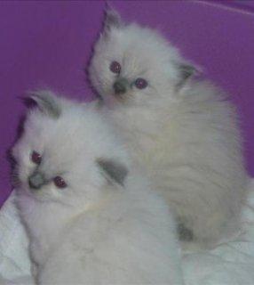 Cutest Purebred Ragdoll Kittens