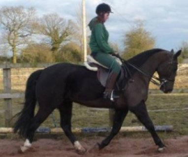 Smart & Brilliant Horse Frisian  (Male and Female) For Sale