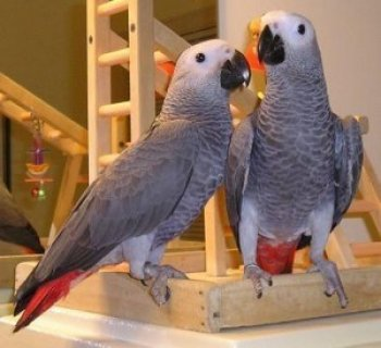 Two African Grey Parrots for Adoption./...