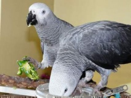 african grey parrot,eggs and weaned babies