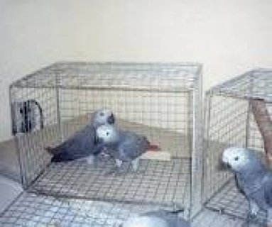 Free Grey Parrots