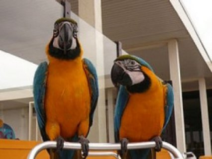 """Blue and Gold Macaw\""///"