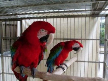 *****Adarable Pair Green Wing Macaw Parrots For Adoption To Any