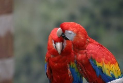 Macaw speaking parrots and fertile eggs available for adoption..