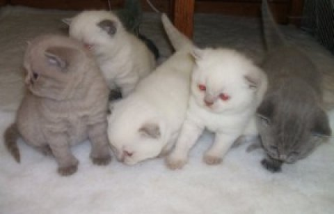 Scottish Fold Kittens////