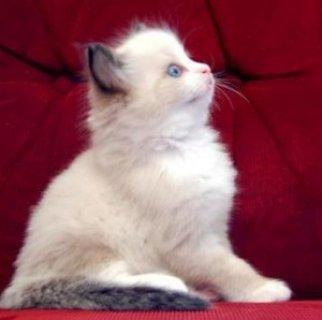Purebred 10 Weeks Old Ragdolls Kittens.......