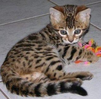 Tica Registered Bengal Kittens.......................