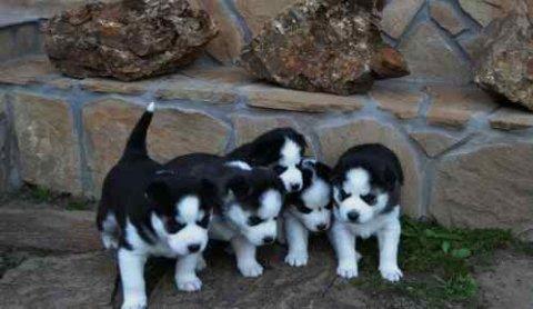 Siberain Husky Puppies for Adoption