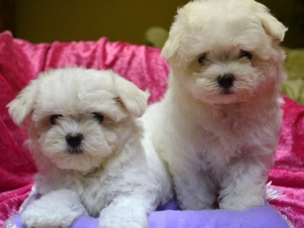 CUTE AND LOVELY MALTESE PUPPIES READY FOR ADOPTION	SWEET