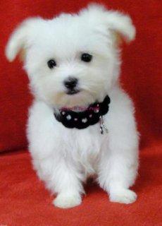 Adorable Pomeranian puppies for AdoptionOk