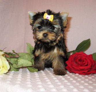 male and female Yorkie Puppies are available
