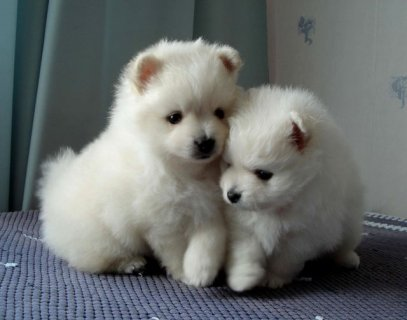 male and female pomeranian pkuppies for sale