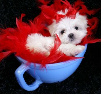 Junior Maltese Puppies Available