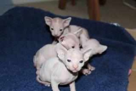 صور Adorable male and female Sphynx Kittens Available 1