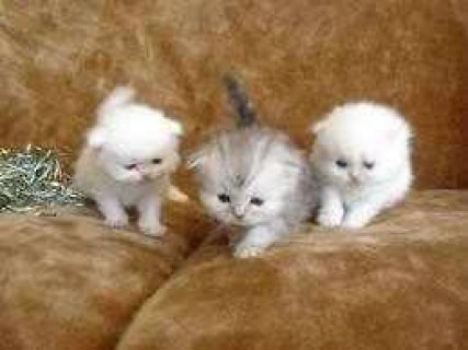 Three Tiny Teacup Persian kittens for adoption