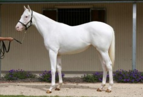 صور Pure white Arabian Mare!exotic White Silk horse 1