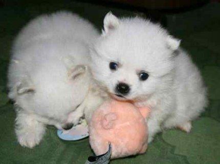 Adorable Tiny Micro Teacup Pomeranian Puppies