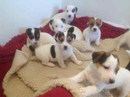 صور Ready Now Jack Russel Puppies, Male & Female, 0-8 weeks, 1