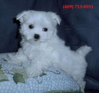 Super Teacup Maltese Puppies Available