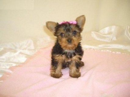 Surely Yours Yorkie Puppies