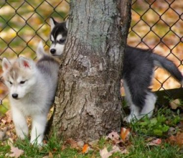 Akc Blue-eyed Siberian Husky For Stud Only!!!