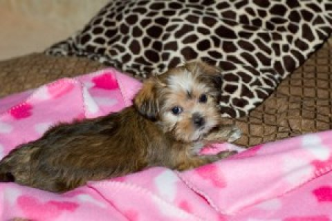 Twin Teacup Yorkie puppies