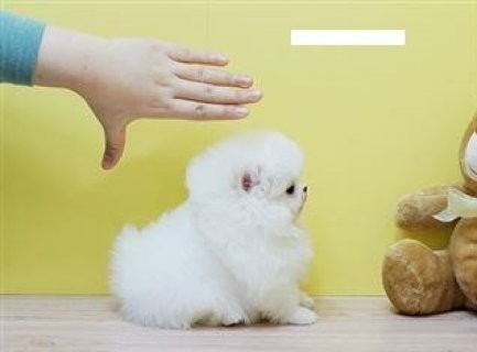 f Cute Pomeranian Puppies for Rehoming