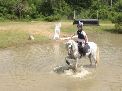 الحصان العربي للبيع