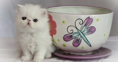 Purebred Micro-mini, Teacup Persians