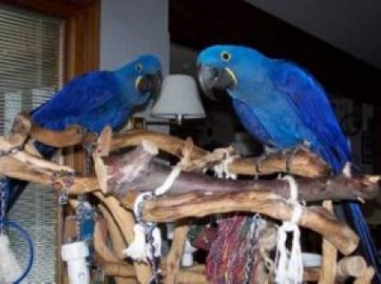 Great B&G Macaw Pair Available