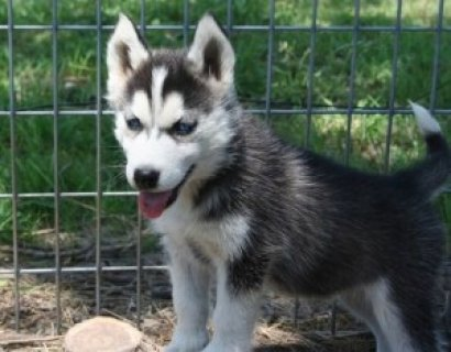 ..Affectionate Male and Female Siberian Husky Puppies For SALE (