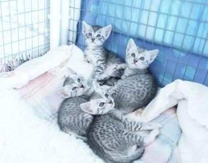 Beautiful Pedigree Egyptian Mau Kittens For Sale