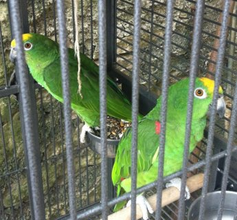 **Yellow Crowned Amazon Parrots**