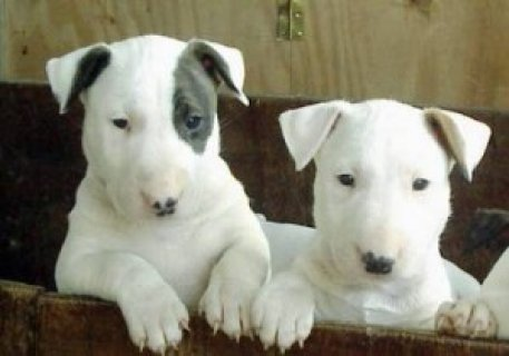 Lovely Looking Bullterrier Puppies Ready Now