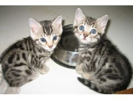 bengal kitten for adoption