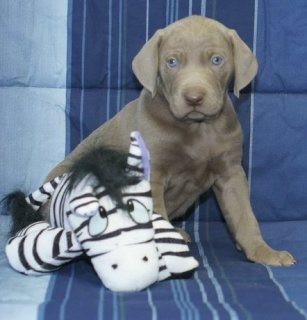 Weimaraner Puppies For Sale All Ready Now