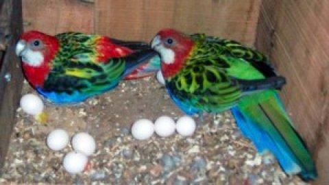 Parrots Eggs