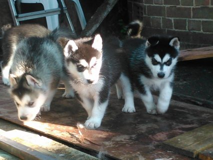 We have beautiful Siberian Husky puppies for adoption.