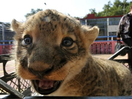 صور Cheetah Cubs for sale|Tiger cubs for sale| Lion cubs for sale 1