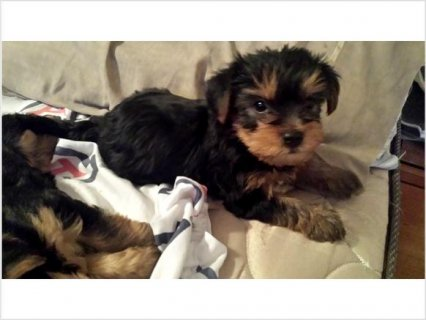 Purebred Yorkie puppies for sale,