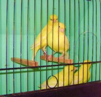 Canaries Birds For Sale