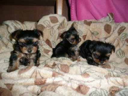 Healthy Tiny Teacup Yorkie Puppies For Free Adopti