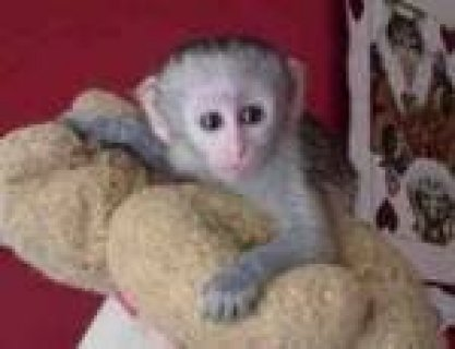 Capuchin Monkeys Available0
