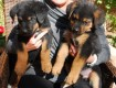 Male and Female Rottweiler  Puppies Available For Sale