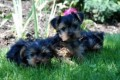 1Yorkie Puppy for adoption