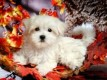 Maltese Puppies for Sale12